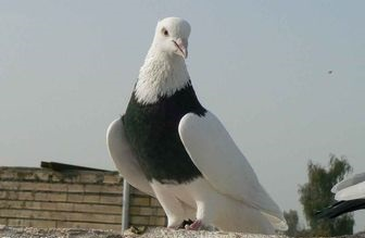 کبوتر مست