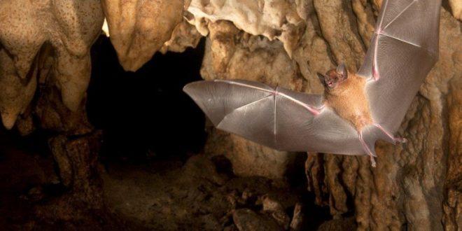 خفاش چگونه لانه میسازد