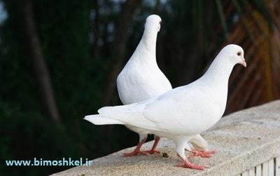 چگونه کبوتر را بپرانیم