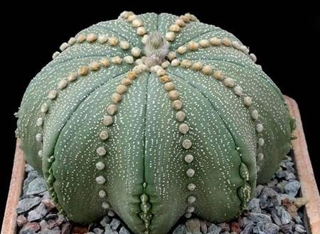 کاکتوس ستاره ای