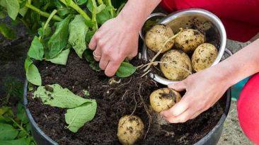 کاشت سیب زمینی در خانه