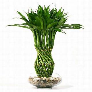 پرورش بامبو