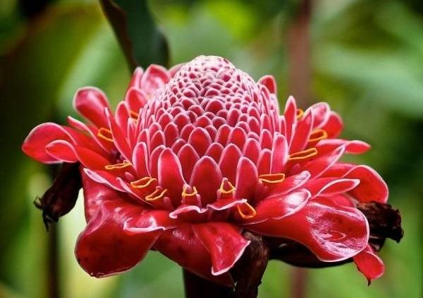 گل زنجبیلی