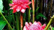 نگهداری و پرورش گل زنجبیلی
