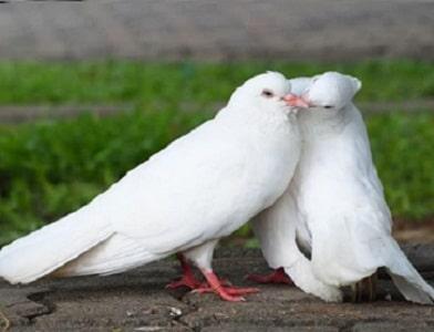 جفت گیری کبوتر های مست