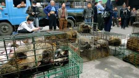 مقامات برای جلوگیری از شیوع SARS فروش گربه زباد را در بازار حیوانات ممنوع کردند