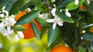 شربت-بهارنارنج-پرتقالی