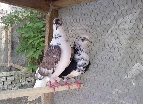 مست کردن کبوتر