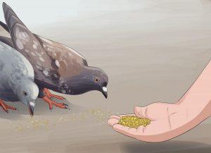 گرفتن کبوتر غریب