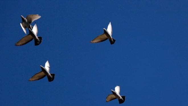 چگونه کبوتر غریب بگیریم