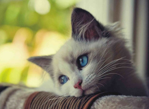 چشمان گربه