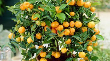 کاشت درخت میوه
