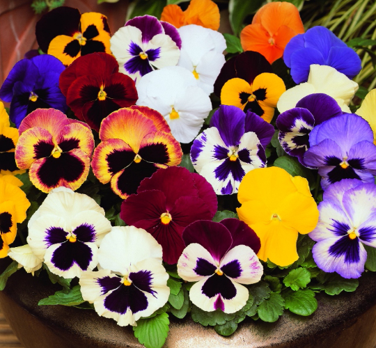 نگهداری گل بنفشه
