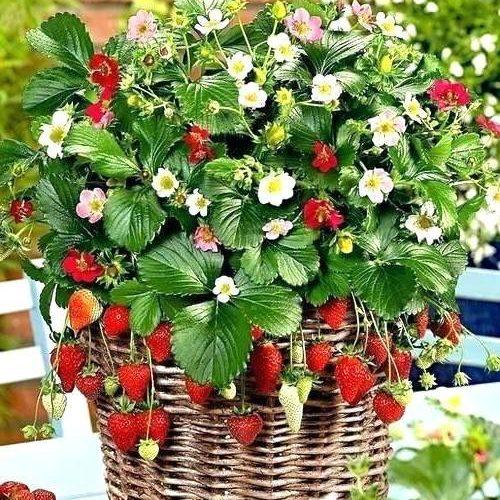 کاشت توت فرنگی در منزل