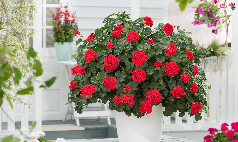 پرورش گل شمعدونی