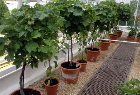 کاشت انگور در گلدان
