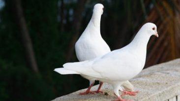 چگونه پر کبوتر را سفید کنیم ؟
