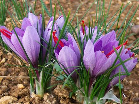 خاکی که ترکیبی از شن و رس است مواد مغذی خوبی دارد برای کاشت زعفران مناسب است